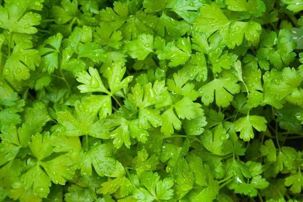 Cilantro plant - Is cilantro spicy?